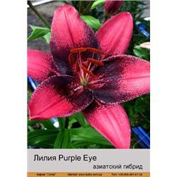 Лилия Purple Eye