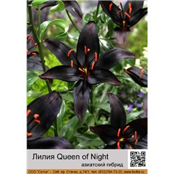 Лилия Queen of Night