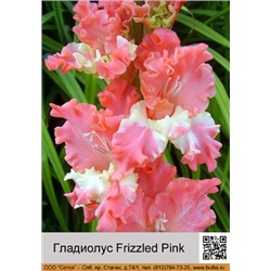 Гладиолус Frizzled Pink