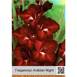 Гладиолус Arabian Night